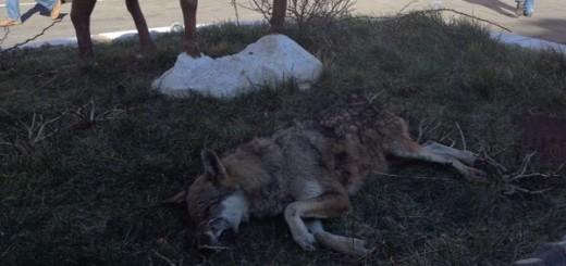 lupo morto sanza