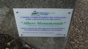 ALBERO MONUMENTALE SALA CONSILINA.Immagine001