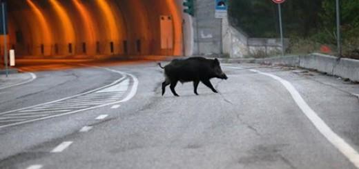 cinghialeinautostrada