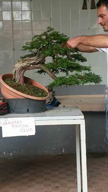 Larte Del Bonsai In Mostra A Cava De Tirreni Col Trofeo Arbores