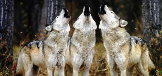 lupi auletta allarme