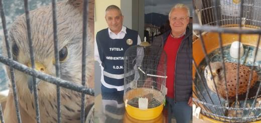 falco gheppio ferito atena lucana collage